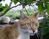Ziggy Cat - Tree Branch Silliness 6-1-17 08[Crop] (anothertom) Tags: cats ziggycat yard outside treebranch rubbing sillycat catface yardpatrol funnycat wateryeyes funnyface sonyrx100ii 2017