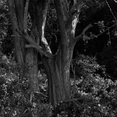 Hawthorn tree trunk (Other dreams) Tags: tree trunk hawthorn forest shadow existinglight npk vistulalandscapepark sartowice film analog 6x6 mediumformat mf bw rolleiflex