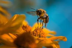 Envol (martinmenard757) Tags: martin menard taon macro quebec insecte jaune