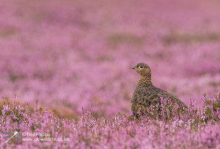 Red grouse-7