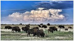 Bison Grazing the Prairie (CTfotomagik) Tags: buffalo bison mammal prairie rockymountainarsenal nature thunderhead clouds grazing field landscape sky colorado wildlife nikon herd ngc