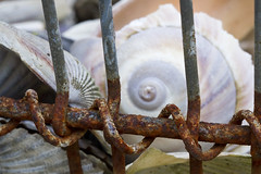 Rusted Coil (brucetopher) Tags: rust rusted rusty macro coil spiral clam clamming shell moonsnail snail curve fibonacci fibonaccicurve goldenmean goldencurve math moonshell mollusk mollusca mollusc seashell macromondays