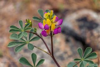 Harlequin Lupine (Lupinus stiversii) | Yosemite NP