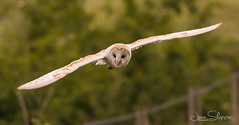 Hunting Wet (JDS-photo) Tags: barnowl tytoalba owl wildowl wildlife nature wildbarnowl hunting barny flying birdofprey birdinflight bird norfolk lightroom canoneos80d canonef400mmf56lusm norfolkbarnowls