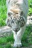 Coming (2) (Benagap) Tags: cerzazoo zoodecerza cerza zoo animals tiger whitetiger