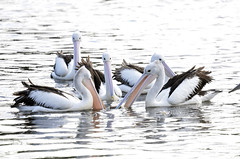 Pelicans play (jeans_Photos) Tags: garveypark pelican perth westernaustralia bird