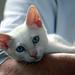 Red Point Siamese Kitten