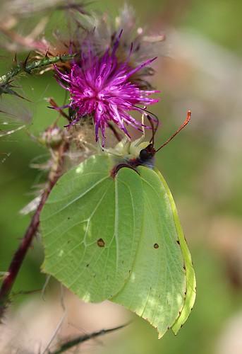 brimstone butterfly - gonepteryx rhamni