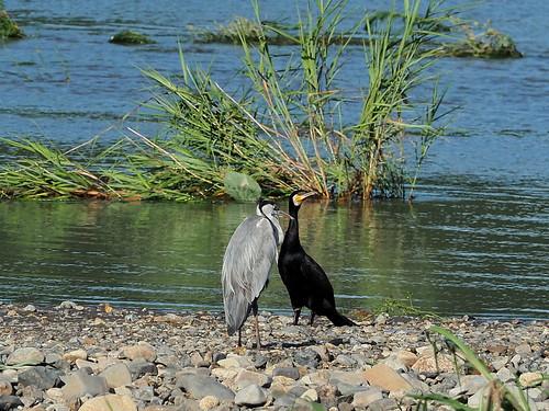 Grey heron (アオサギ) and great cormorant (カワウ)