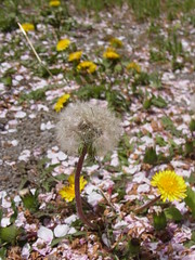 (nofrills) Tags: survivalism タンポポ dandelion weed weeds plant plants flower flowers flora floral yellow seed seeds cherry petals