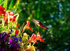 Humming along (peggyhr) Tags: peggyhr hummingbird flowers dsc06980a bluebirdestates alberta canada carolinasfarmfriends