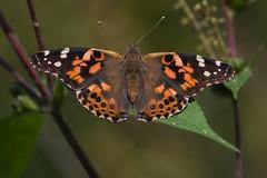 Papillon Belle-Dame / Vanessa cardui (ALLAN .JR) Tags: papillionbelledame vanessacardui nature wildlife