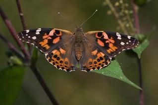 Papillon Belle-Dame / Vanessa cardui