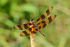 halloween pennant with green background (BobRobin) Tags: ferneclyffestatepark illinois dragonfly halloweenpennant insect pennants skimmers