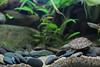 IMG_9797 (Laurent Lebois ©) Tags: laurentlebois france reptile rettile reptil рептилия tortue turtle tortoise tortuga tartaruga schildkröte черепаха chelonia sternotherus minor terrariophilie razorbackmuskturtle cinosterne