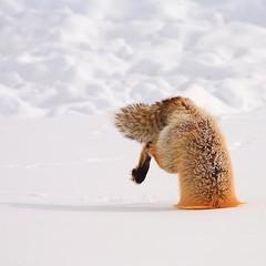 #fox https://t.co/H6Aqp7yEkp (hellfireassault) Tags: foxes fox httpstcoh6aqp7yekp q foxlovebot september 21 2017 0400pm