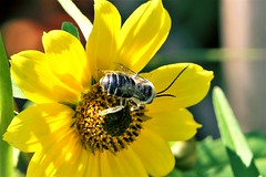 sunny bee (Lana Pahl / Country Star Photography) Tags: catchycolors