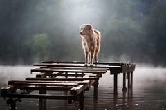 Marvel (Patounes et Moustaches) Tags: dog chien lake lac pont ponton berger australien australian sheaperd pier wood patounes et moustaches pet cute paris fog brume marvel light landscape paysage