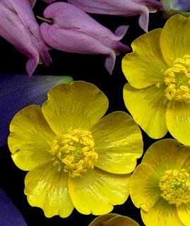 58393.12 Dicentra eximia, Ranunculus acris