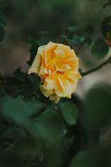 yellow rose (Simona Svalina) Tags: flower flowers nature garden beautiful ph photography nikon d7200