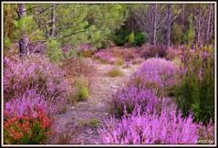 En forêt, bruyères en fleurs (Les photos de LN) Tags: bruyères fleurs bois forêts pins nature paysage sentier hourtin gironde aquitaine couleurs mauve rose vert lumière harmonie