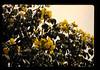 ACHARA周辺の木の花 (JIRCAS) Tags: タイ 植生 achara thailand