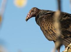 Turkey Vulture (Explored) (Lynn Tweedie) Tags: turkey vulture wyandotte