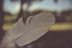 Like a feather (*mirt) Tags: soft bird macro nature wednesday 7dwf closeup feather