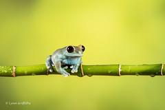 Ruby-eyed Tree Frog D75_7093.jpg (Mobile Lynn) Tags: amphibian frog nature rubyeyedtreefrog captive fauna wildlife bournemouth england unitedkingdom gb coth specanimal sunrays5 ngc coth5 npc
