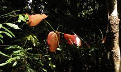 smilax.australis.new.leaves (dave.kimble) Tags: smilax smilaxaustralis smilacaceae sarsparilla arfp arfcp qrfp cyrfp nswrfp vrfp monsoonarf littoralarf wetschlerophyllaf leaf newgrowth tropicalarf uplandarf lowlandarf vinethicketarf
