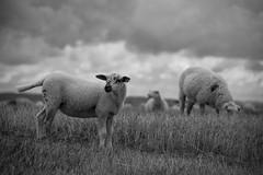 Inquiétude sur le troupeau ***--+ (Titole) Tags: nb titole nicolefaton agneau moutons sheep lamb bw noiretblanc blackandwhite grass sky clouds présalé storybookchallenge