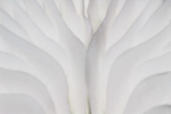 Abstract in Porcelain (Mark Wasteney) Tags: macromondays abstract white monochrome patterns textures hmm 11 highkey fungi gills shapes memberschoicemacroabstract