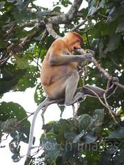Proboscis Monkey (whitworth images) Tags: jungle monkey borneo habitat kinabatangan malaysia leaves primate wild wildlife tree longnosedmonkey mammal animal sukau proboscismonkey kinabatanganriver nasalislarvatus rainforest sabah outdoors