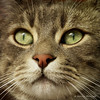 Cat close-up (Monica Muzzioli) Tags: cat kitty pet macro closeup portrait gaze gatto ritratto animale domestico sundaylights animal