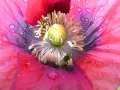 Poppy (stuartcroy) Tags: poppies poppy flower scotland bugs sony beautiful water