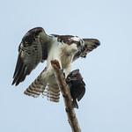 Osprey (Pandion haliaetus) thumbnail