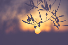 A tuscan day ends (der_peste) Tags: sunset blur bokeh dof olive olivetree olivegrove backlight backlit sun sundown silhouette mood italy