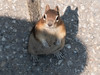 Beggar (Please don't feed me) (jcfa_photography) Tags: goldenmantledgroundsquirrel