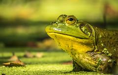 Bullfrog (Mio Romanic) Tags: nature priroda wildlife