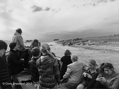Blakeney Point (Chris Breebaart) Tags: seals norfolk england blakeneypoint blakeney iphone