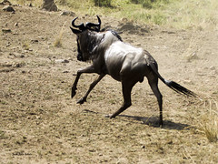Migracao GNU - Travessia do Rio Mara 38 (Joao Pena Rebelo) Tags: tanzania gnus wildebeest migration safari serengeti wildebeests marariver