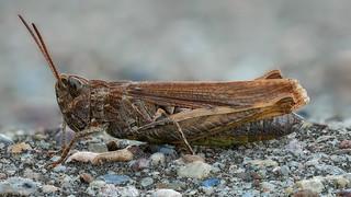 Grashüpfer Weibchen aus der Chorthippus biguttulus-Gruppe