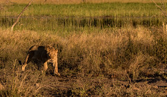 1C5A1765.jpg (donnatopham) Tags: botswana laroolatau lions