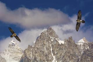 Thermal Gliding Bearded vultures (lammergeier)