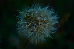 Dandelion3 (S) (brinksphotos) Tags: dandelion flower nature photoshoot photography nikond3100 lens naturephotography wish seeds photographer