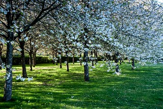Cesson, cerisiers, 10