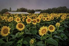 _LCH6993 kansas sunflowers-Edit (snolic...linda) Tags: kansas lawrencekansas sunflowers sunrise