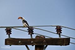 500_2031.jpg (Laurent LALLEMAND) Tags: calaodejackson kenya continentsetpays afrique baringo oiseaux tockusjacksoni bucerotiformes bucerotidae africa ke ken