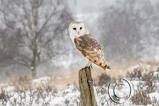 Barn Owl on Post in Snow
