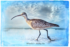 Whimbrel ~ Striding Out (Johnrw1491) Tags: whimbrel shorebirds beach walk nature notes fine art digital photography cameras exposure composites tripods golf la jolla
